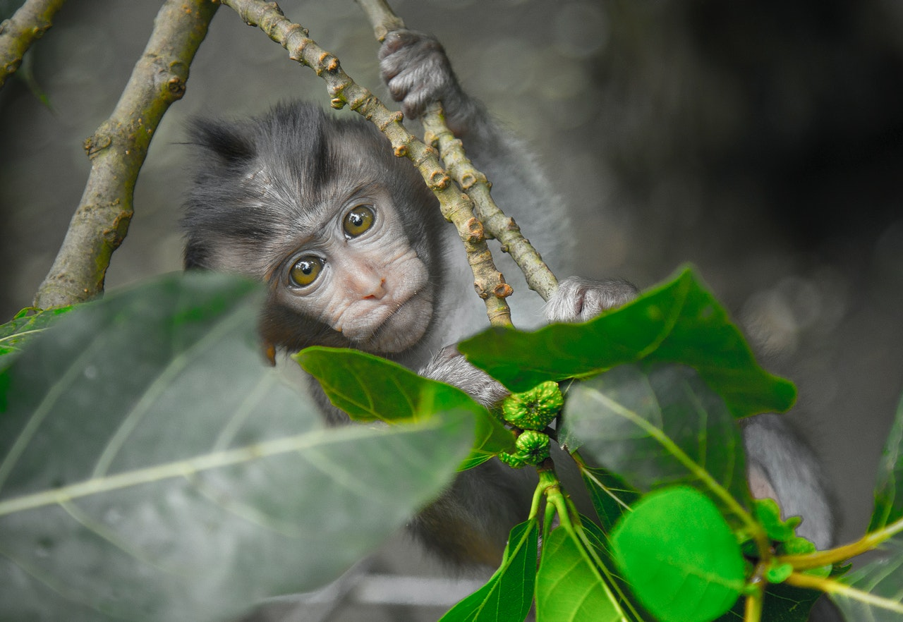 v com sa opice podobaju cloveku
